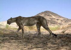La épica búsqueda de los últimos guepardos del Sahara | Materia