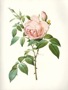 Tea Rose Botanical Illustration