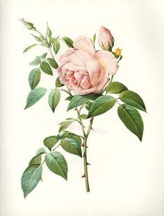 botanical rose - Google Search