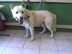 HACHI - ID#A5034369\r\n\r\nMy name is Hachi and I am described as a male, white Labrador Retriever and Siberian Husky\r\n\r\nThe shelter thinks I am about 2 years and 4 months old.\r\n\r\nI have been at the shelter since Jun 03, 2017.\r\n\r\nFor more information about this animal, call:\r\nLos Angeles County Animal Control - Carson at (310) 523-9566\r\nAsk for information about animal ID number A5034369