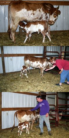Minature cattle, smaller quantities of milk, les feed required, easier to manage. Minature Cows, Farm Animals, Cute Animals, Miniature Cattle, Mini Cows, Puppy Mills, Love Pet, Rind, Pet Store