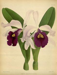 Plate 235, Orchid album :. London :B. S. Williams,1882-97