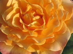 """Image made into 5"""" x 7"""" notecards; for sale at $2.50 each; Copyright Judy Goffin #roses #photography #judygoffin #notecards"""