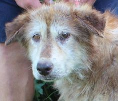 ADOPTED!!! Gena - Golden Retriever mix - Female - approx 8 - 9 yrs old - Parke-Vermillion Co. Humane Society - Clinton, IN. - http://pvchs.cfsites.org/index.php - https://www.facebook.com/Parke-Vermillion-County-Humane-Society-127581823951388/ - http://www.adoptapet.com/pet/16397020-hillsdale-indiana-golden-retriever-mix - https://www.petfinder.com/petdetail/35959671