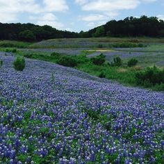It's everyone's favorite time in Austin. Spring has sprung with brilliant explosions of wildflowers dotting the highways.