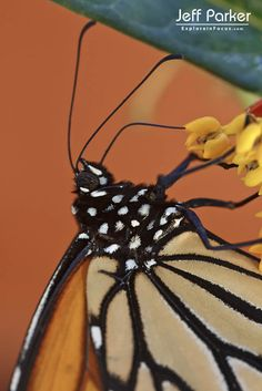 Monarch Butterfly (Danaus plexippus) macro; © Jeff Parker / ExploreinFocus.com