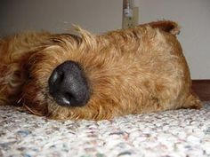 This photo is from Airedale Rescue and obviously the best endorsement of rescue ever.