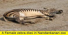 A Female zebra dies in Nandankanan zoo
