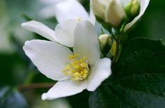 Idaho State Flower - Syringa blossoms