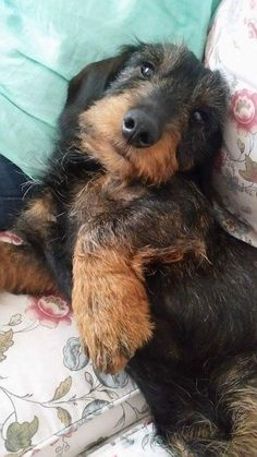 Visit our blog to find the best products and accessories for hounds and #doglovers. #dachshundcentral #doglover #dachshund #sausagedog #doxie #weeniedog #dachshunds #sausagedogs #doxies #weeniedogs 📸 credits: unknown