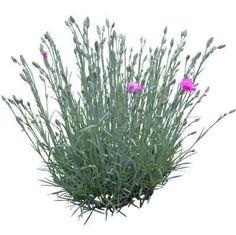 cutout flowers: clove (карамфил)
