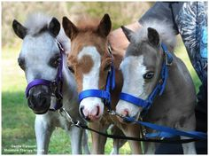 Gentle Carousel Miniature Therapy Horses ~  cute!
