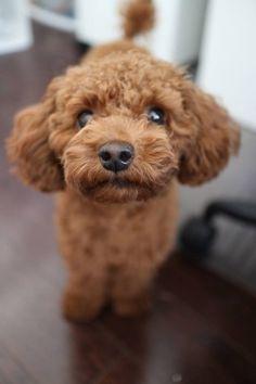 Teddy bear, toy poodle... super cute!                                                                                                                                                                                 Mehr