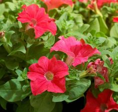 """Petunia Panache™ Coral Reef---Huge striking shrimp pink flowers.  Weather resistant and vigorous.    Full to part sun. Container, basket or landscape use.      Nice with orange and blue flowers and wine leaves. Plant Details:  Type:  Annual Height:Up to  8"""" Spread: Up to  12"""" Color: Coral"""