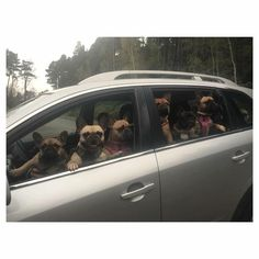 """C'mon, let's GO!"", French Bulldogs Carpooling to the Dog Park"