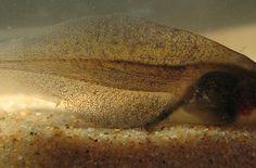 Live Tadpoles For Sale at Voracious Reptiles
