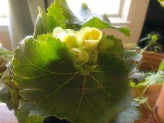 More blooms Plant Leaves, Bloom, Health, Garden, Plants, Garten, Health Care, Gardening, Plant