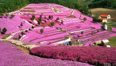 Japan, Spring flowers On a Hillside, Hokkaido Repinned by TheBarefootNomad.com