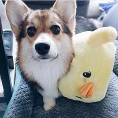 What a cute corgi #corgi #corggi #corgidog #corggidog #corgidogg #corgidoggie #dog #dogg #doggie #doglover #doglovers #plushie #cutecorgi #babycorgi #babycorgidog #babydog #puppy #puppys #cute #cuteaf #cuteanimals #adorable #adorableanimals #adorable_animals #adorable_dog #stuffy #cuteness #cutenessoverload