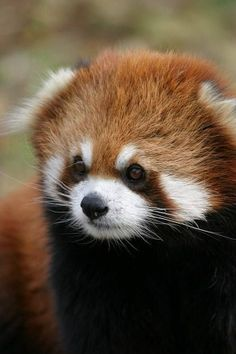 Red Panda ♥ look at that tiny wittle face.