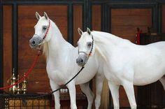 Desha Payton (Ben Malik x Alfabia Salaa) & Desha Indeed (Al Adeed Al Shaqab x Asra Salaa) 2006 grey mares bred by DeShazer Arabians