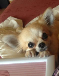 Love the expression #chihuahua