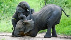 Taken in a private game reserve bordering the Kruger National Park, South Africa, a baby elephant climbs on her mother.