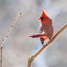 #Cardinal #Birds #Nature @Sketch With Light