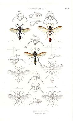 1875 American Wasps Vintage Print Interesting descriptive illustration