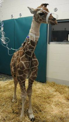 Southwick's Zoo's newborn giraffe, Daisy, is healing at Tuft's Cummings School of Veterinary Medicine after birthing complications on Saturd...