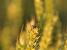 Dandelion, Flowers, Plants, Photos, Pictures, Dandelions, Plant, Taraxacum Officinale, Royal Icing Flowers