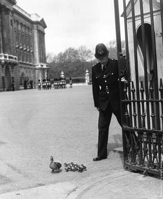A policeman opens the gates of Buckingham Palace for some ducks, 1964 © Douglas Miller