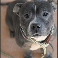 Pictures of LUCA a Pit Bull Terrier for adoption in New York, NY who needs a loving home.