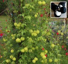Rare Heart Seed Balloon Vine Cardiospermum halicacabum - 12 Seeds