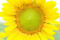 Have you ever noticed the spirograph in the middle of a sunflower?