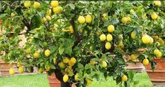 ¿A quién no le gustan los limoneros? Ya sea para el interior, el exterior, su cultivo en macetas o directamente en el jardín: descubre cómo conseguir el frutal más bello.