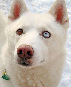 White Siberian Husky Duke