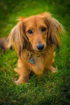Pin by Debbie Nichols on dachshunds Dachshund, Dogs