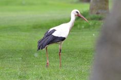 Walking stork at the Golf Club Udine, Fagagna - Italy