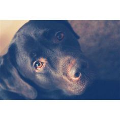 dog, chocolate labrador, cute, nose, beauty, eyes
