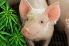 Pig on pot - honestly!