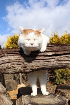 Dearest Shiro, how is it possible to fall asleep while jumping a fence! I Love Cats, Crazy Cats, Cute Cats, Funny Cats, Funny Animals, Cute Animals, Pretty Cats, Beautiful Cats, Princess Monster Truck