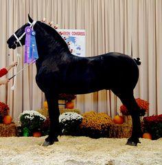 #horses - Percheron   Windermeres North American Maid All The Pretty Horses, Beautiful Horses, Animals Beautiful, Percheron Horses, Clydesdale, Big Horses, Black Horses, Pony Breeds, Horse Breeds