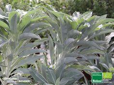 Salvia apiana - Weißer Salbei – Indianischer Räuchersalbei – Indian Sage   Bioland