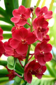 Garden Flowers - Annuals Or Perennials Orchids Flowers For You, Rare Flowers, Types Of Flowers, Exotic Flowers, Amazing Flowers, Beautiful Flowers, Summer Flowers, Red Orchids, Orchids Garden