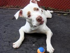 HUEY - ID#A0949901    I am an unaltered male, white and brown Pit Bull Terrier mix.    The shelter staff think I am about 3 years old.    I weigh 68 pounds.    I was found in NY 10457.    I have been at the shelter since Oct 25, 2012. www.PetHarbor.com pet:NWYK.A0949901
