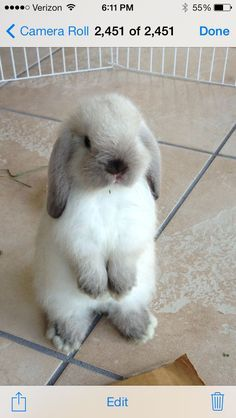 Cute little fluffy bunny. Cute Baby Bunnies, Funny Bunnies, Cute Funny Animals, Cute Baby Animals, Animals And Pets, Cute Babies, Mini Lop, Holland Lop Bunnies, Cute Animal Pictures