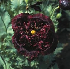 Poppy Black Peony Seeds - Irish Plants Direct