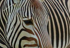 Zebra Eye by SeeItThroughMyEyes on Etsy, $3.00