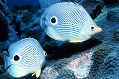The Four-eye Butterfly-fish [Chaetodon capistratus] has false eyes on its back end, confusing predators about which is the front end of the fish. Click on this image and on the next two images for an up-close look at the beautiful design.